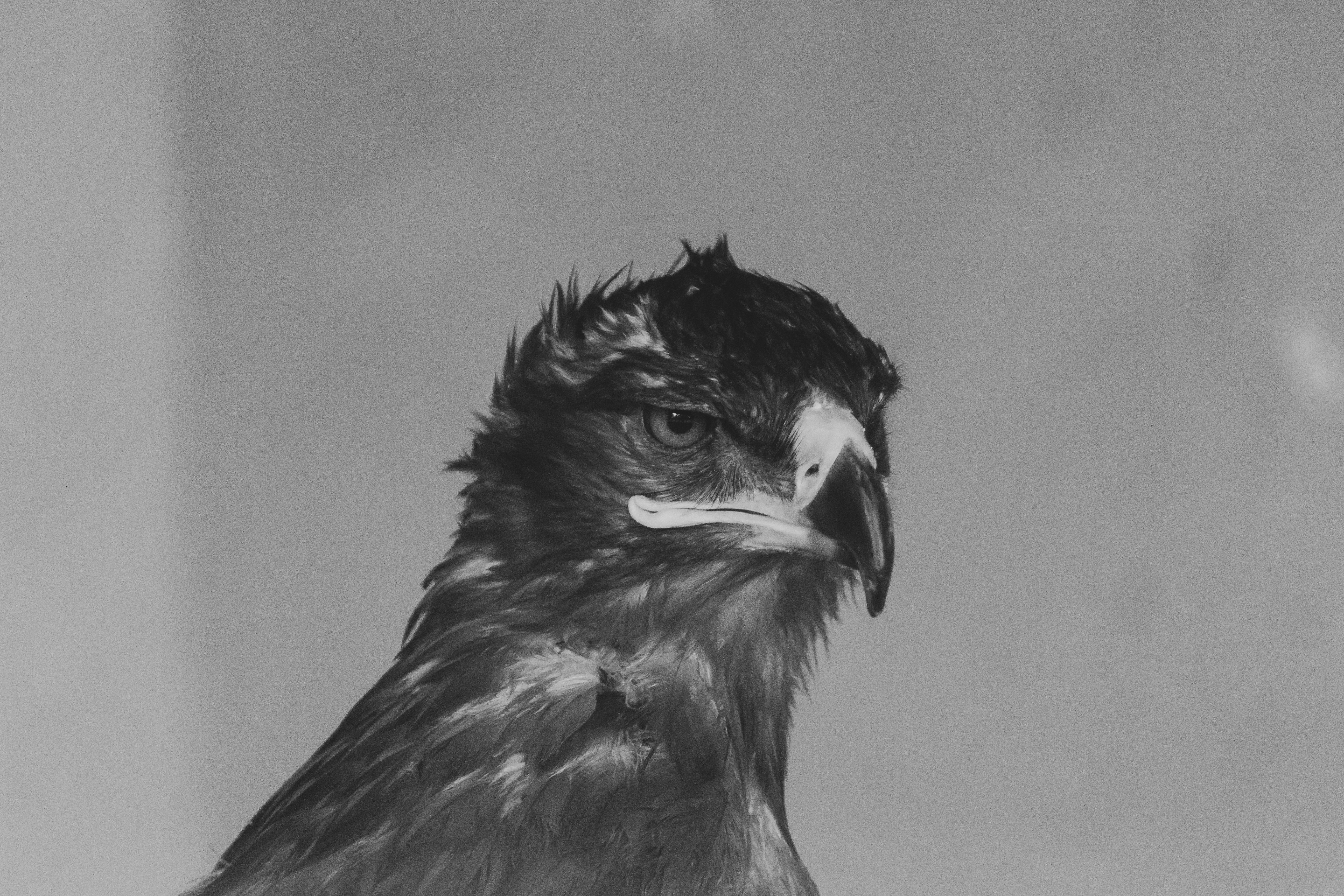 Eagle looking at other direction